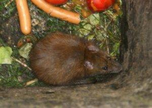 Sollte eine Mülltonnenbox vor Ratten und anderem Ungeziefer schützen